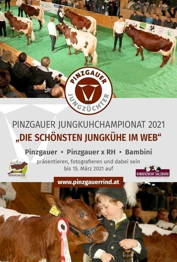 Pinzgauer Jungkuhchampionat 2021 in Österreich