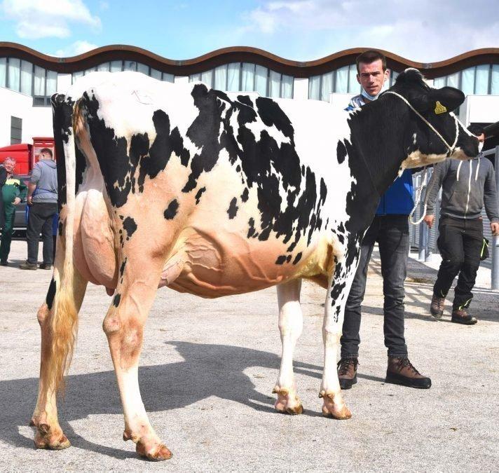 Versteigerungsbericht Grauvieh, Holstein, Pinzgauer 18.03.2021